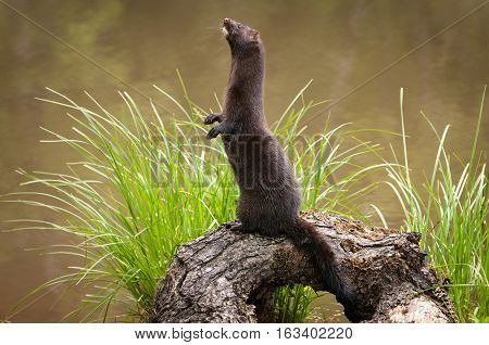 Adult American Mink (Neovison vison) Stands Facing Left - captive animal