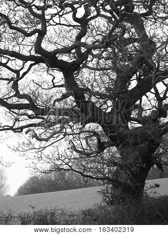 Atmospheric picture of an old gnarled tree in a hedgerow during winter