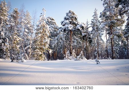 Winter in a pine forest. Pines shrouded in snow. Winter, sunny day in pine forest. Pines covered in snow. Snowbanks around.