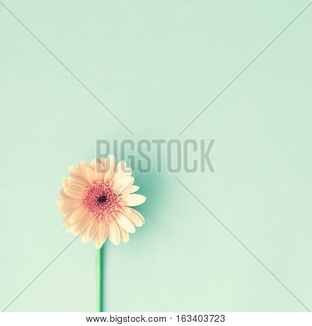 One pink daisy over turquoise blue background