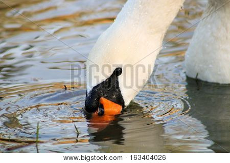 An adult Mute Swan feeding just before the surface of the water