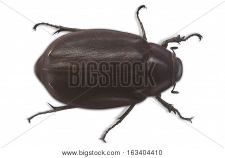 The female beetle Hercules on a white background top view