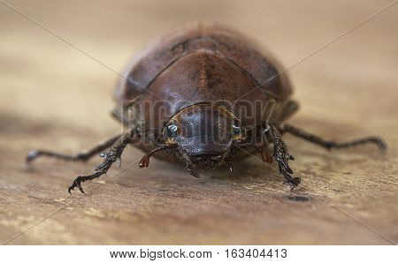 Brown beetle Hercules looking at the camera on a wooden table