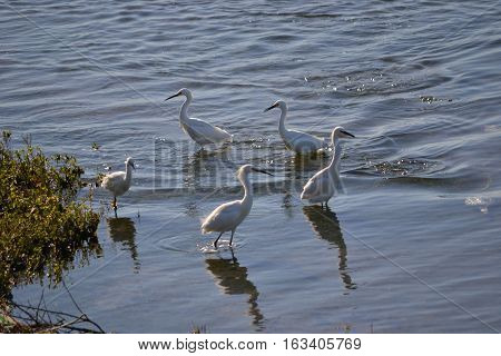 five snowy egrets form a circle as the wade in the shallow marshy waters