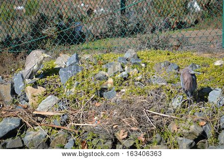A juvenile black-crowned Night-heron and a small blue heron sitting on a rocky area of an ecological reserve
