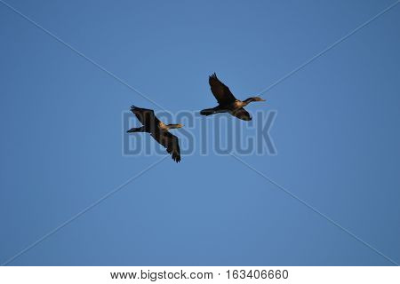 Double Crested Cormorant  in flight seen early winter in Bolsa Chica Ecological Reserve in Souther California