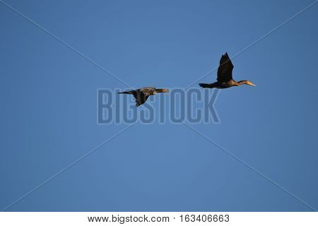 Double Crested Cormorant flying. seen early winter in Bolsa Chica Ecological Reserve in Souther California