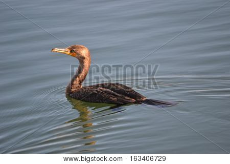 Double Crested Cormorant swimming in Bolsa Chica Ecological Reserve in Souther California in late december