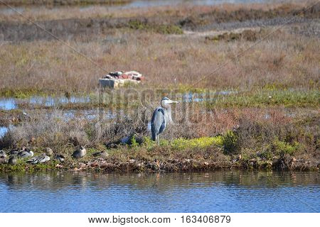 Great Blue heron standing on the shore in Bolsa Chica Ecological Reserve in southern California