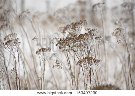 An abstract decorative brown and white image of ice covered yarrow flowers in winter