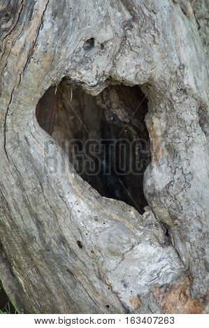An old apple tree with a natural heart shaped hole in the old hollow tree trunk