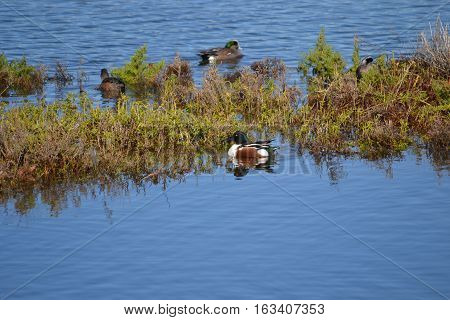 Northern shoveler easily recognizable by his spatulate bill which distinguishes him from other ducks in the marsh
