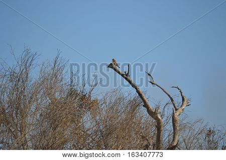 American Kestrel perched on a branch in Bolsa Chica Ecological Reserve. Huntington Beach, California