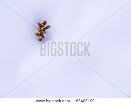 Prickly Seed Pod Cluster In Snow