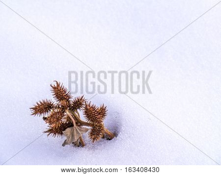 Single cluster of prickly seed pods in snow