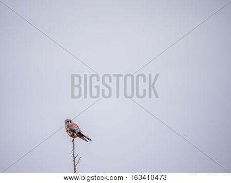 Single American Kestrel On Top Of Tree