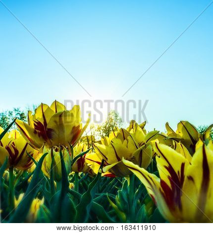 close up shot of the tulip field