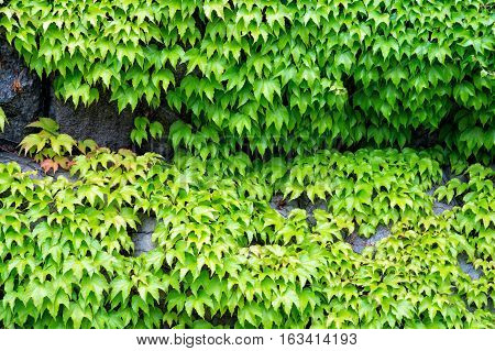 natural background of creeper ivy plant with green leaves on stony wall with nobody