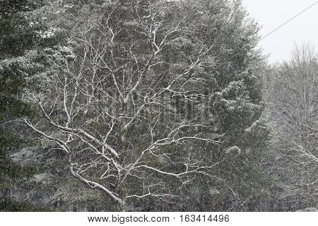 Snow falls and clings to the branches of these trees during a snow storm.