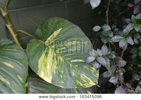 Pothos creeper as seen in a butterfly garden