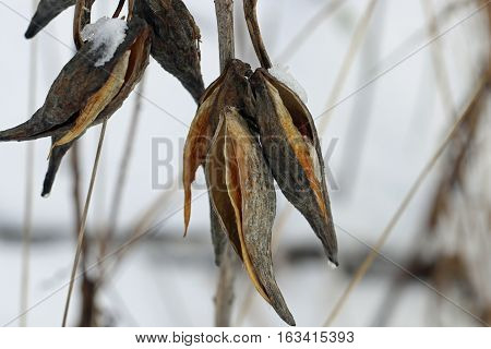 Milkweed pods dangle on their branches ready to fall off.