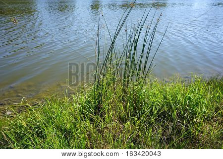 Great bulrushes (Schoenoplectus tabernaemontani), also called softstem bulrushes and grey club-rush, on the shore of a small lake in Joliet, Illinois during September.