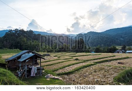 Gold rice field with cottage in the country of Thailand at Mae Klang Luang Doi Inthanon.Chiang mai Province.Thailand