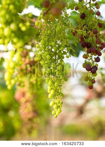 Wine grapes in vineyard on a sunny day select focus