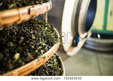 Asia culture concept image - view of fresh organic tea bud & leaves on bamboo basket in Taiwan the process of tea making