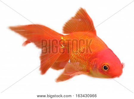 Gold fish swimming isolated on a white background