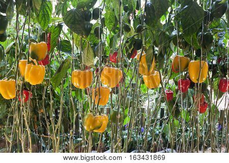 Yellow and red pepper capsicum on the pepper tree, stock photo