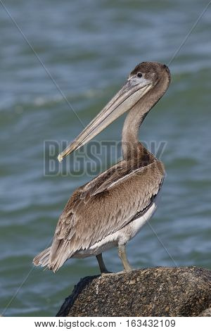Brown Pelican Perched On A Rock - St. Petersburg, Florida