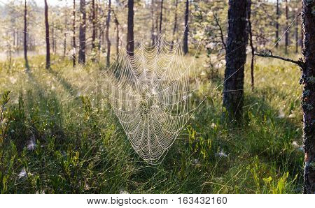 landscape in the swamp with spider web in the foreground