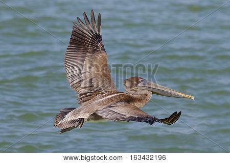 Brown Pelican In Flight - St. Petersburg, Florida