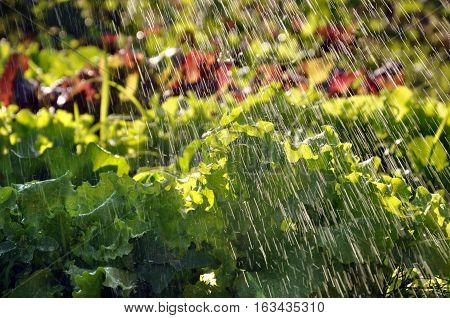 Process of watering the garden plants. Green lettuce leaves under the falling drops of water in motion in sunlight.