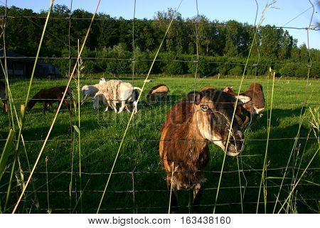 Goats on grass pasture. Countryside of Belgium