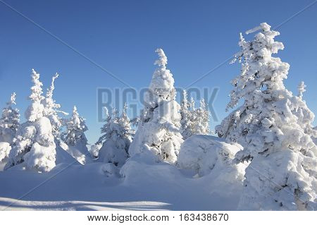 Winter Forest. Snow Covered Spruces.