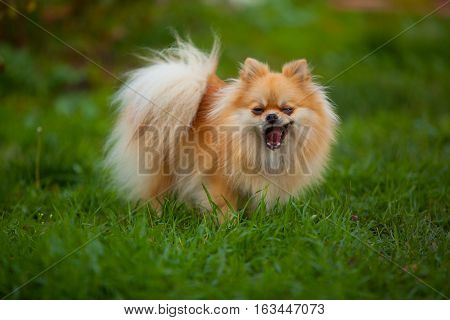 Beautiful Red Dwarf Spitz On Green Lawn