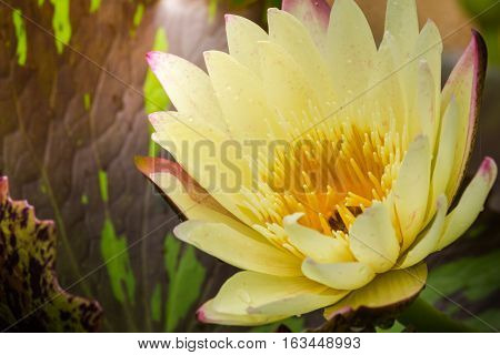 Yellow lotus blooming with yellow pollen beautiful stripper. The lotus leaf has a sunlight surrounded by lotus leaves behind.
