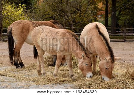 Herd of Przewalski's horses are eating in the zoo