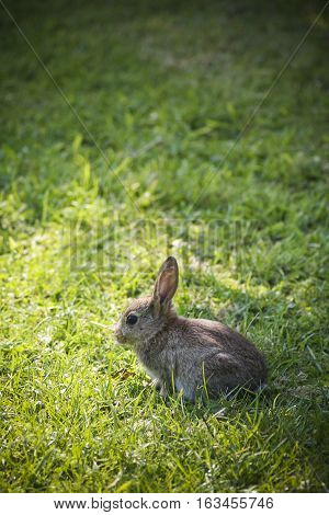 Small rabbit in sunshine with large grassy background