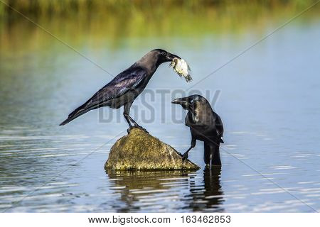 House crow in Arugam bay lagoon, Sri Lanka ; specie Corvus splendens family of Corvidae