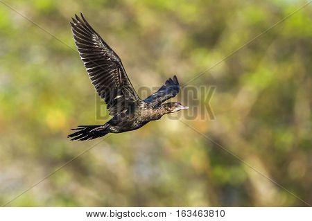 Little cormorant in Arugam bay lagoon, Sri Lanka ; specie Phalacrocorax niger family of Phalacrocoracidae