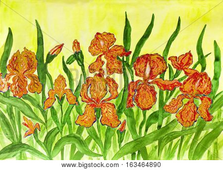 Hand painted picture watercolours flower bed with many orange irises on yellow background.