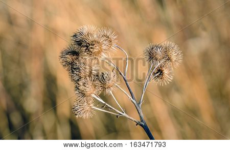Closeup of brown dried and withered stems and seedheads of the lesser burdock or Arctium minus plant against its blurred natural background. It is in the beginning of the winter season.