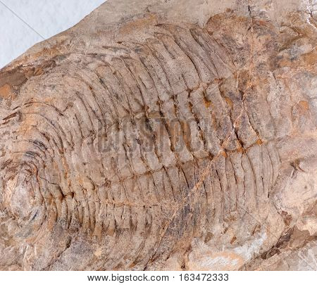 Fossil - old trilobite - close up view