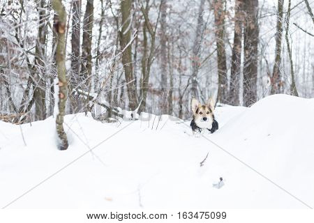 Pembroke welsh corgi in the winter. Dog is running on snow in the pine forest.