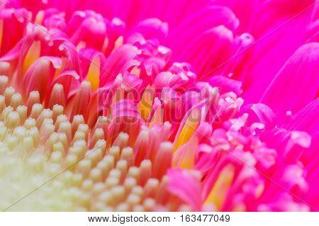 Detail of pink daisy flower pistil with studio light
