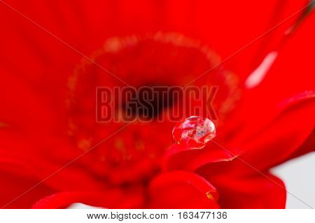 Red color of daisy flower in transparent water drop