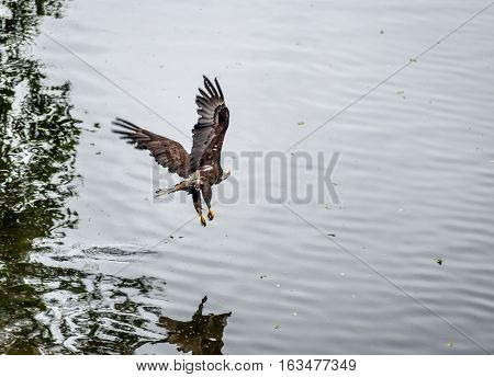 Golden Eagle (Aquila chrysaetos) flying over the beach Mora Beach Washington state USA - motion picture